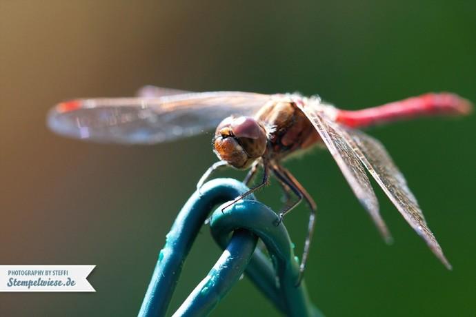 macro25-dragonfly