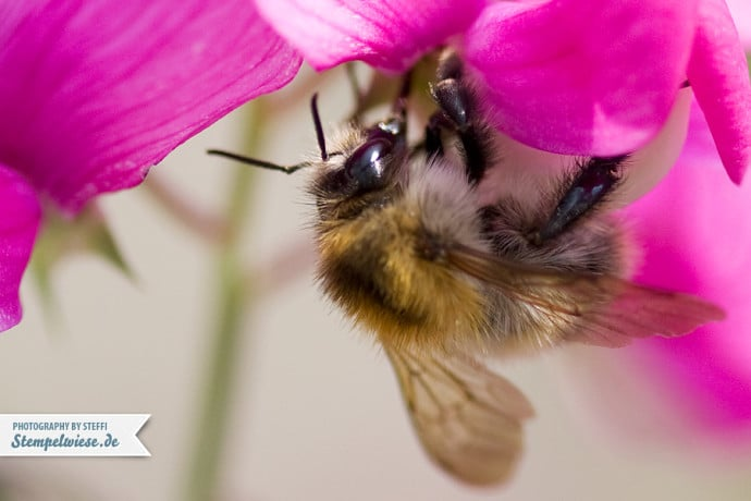 MakroMontag 26 - Bumblebee